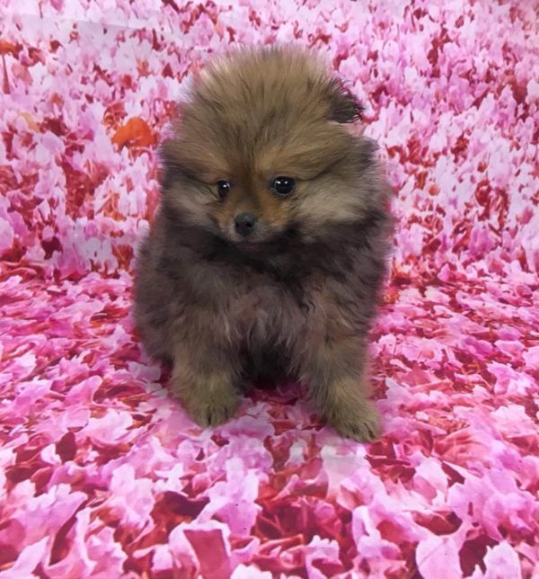 tiny-pomeranian-male-for-sale