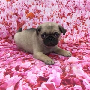 pug-male-for-sale