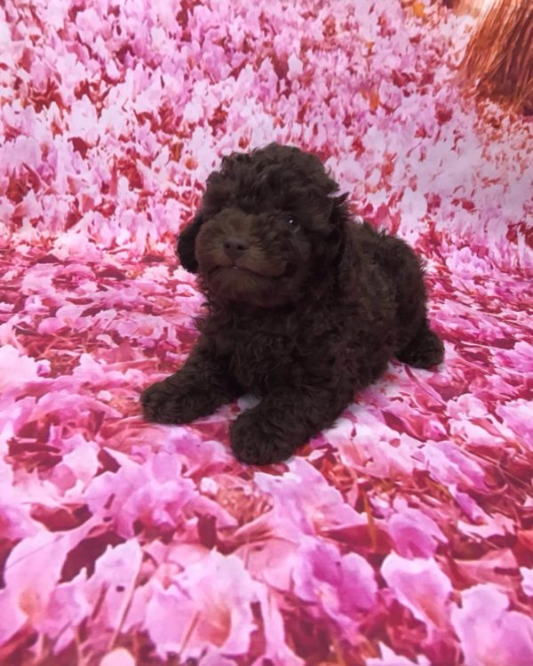 tiny-toy-poodle-female