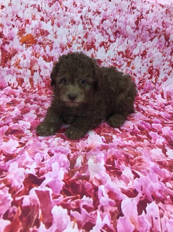 tiny-toy-poodle-male-for-sale