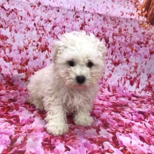 toy-poodle-female-for-sale