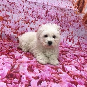 toy-poodle-male-for-sale
