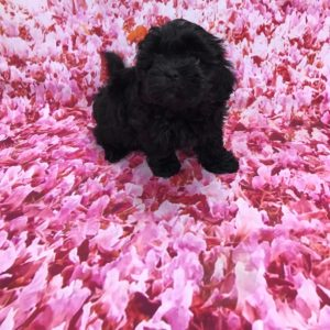 Shihpoo female for sale
