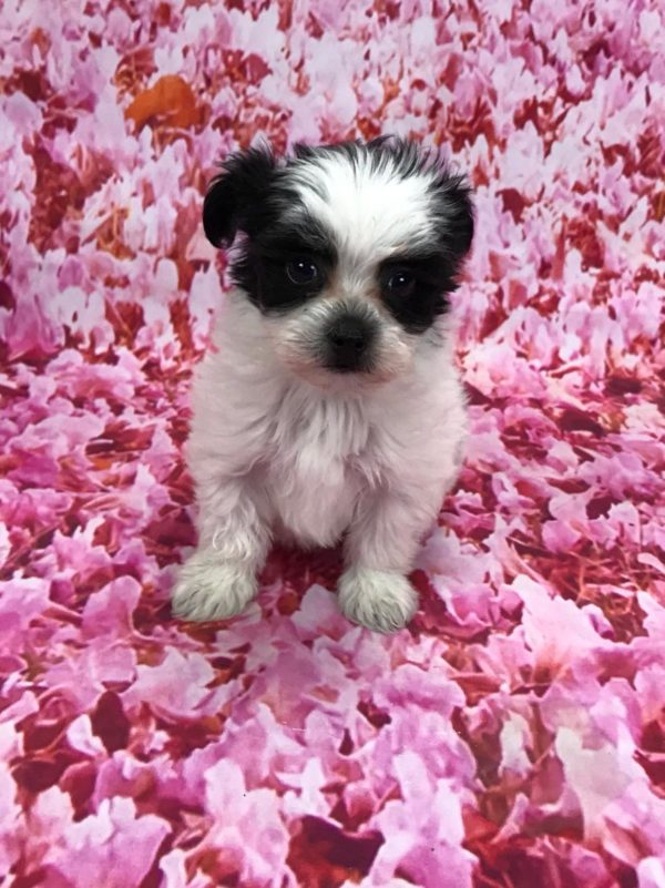Teacup maltipoo male for sale