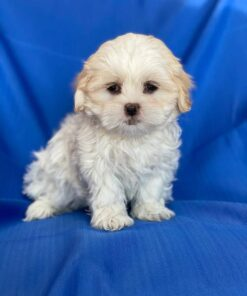 Male Malshi Puppy for sale