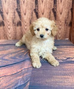 Tiny Toy Poodle Male puppies for sale