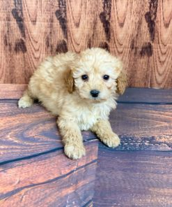 Tiny Toy Poodle Male pets for sale