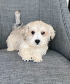 Morkie Male dogs for sale