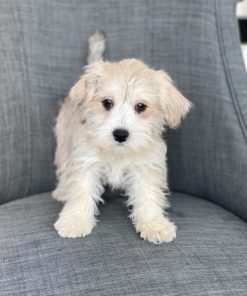 Morkie Male puppies for sale