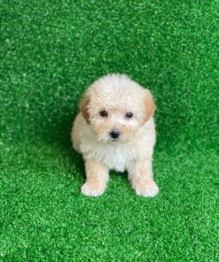 Maltipoo Female puppie