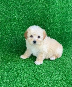 Maltipoo Female puppies for adoption