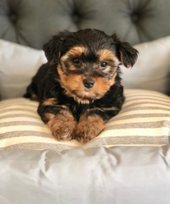 Tiny Toy Yorkie puppies for sale
