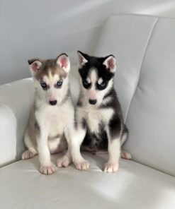 Husky Male and Female puppies for sale