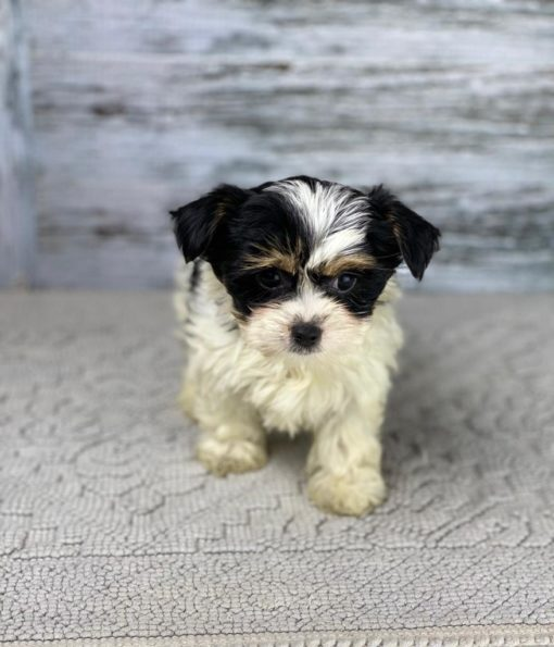 Teacup Morkie Male dogs for sale