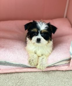 Teacup Morkie Male puppie