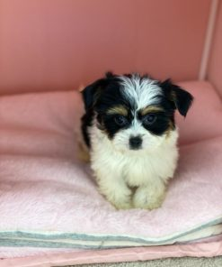 Teacup Morkie Male puppies for sale