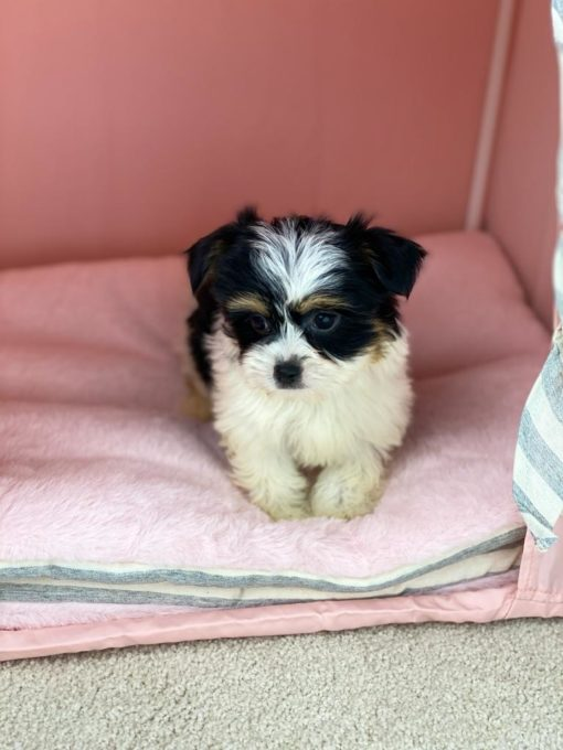 Teacup Morkie Male puppies for adoption