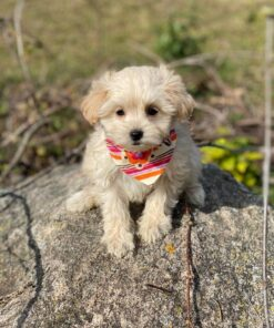 Maltipoo female puppy for sale