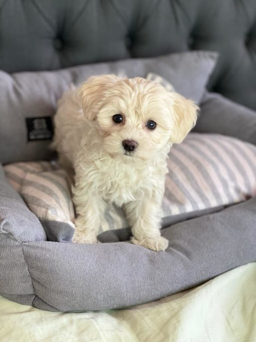 Tiny Maltese puppy for sale