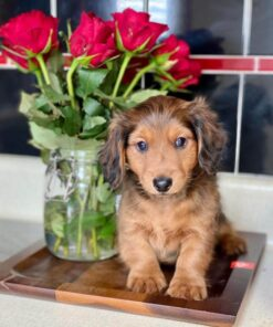Dachshunda Male puppy for adoption