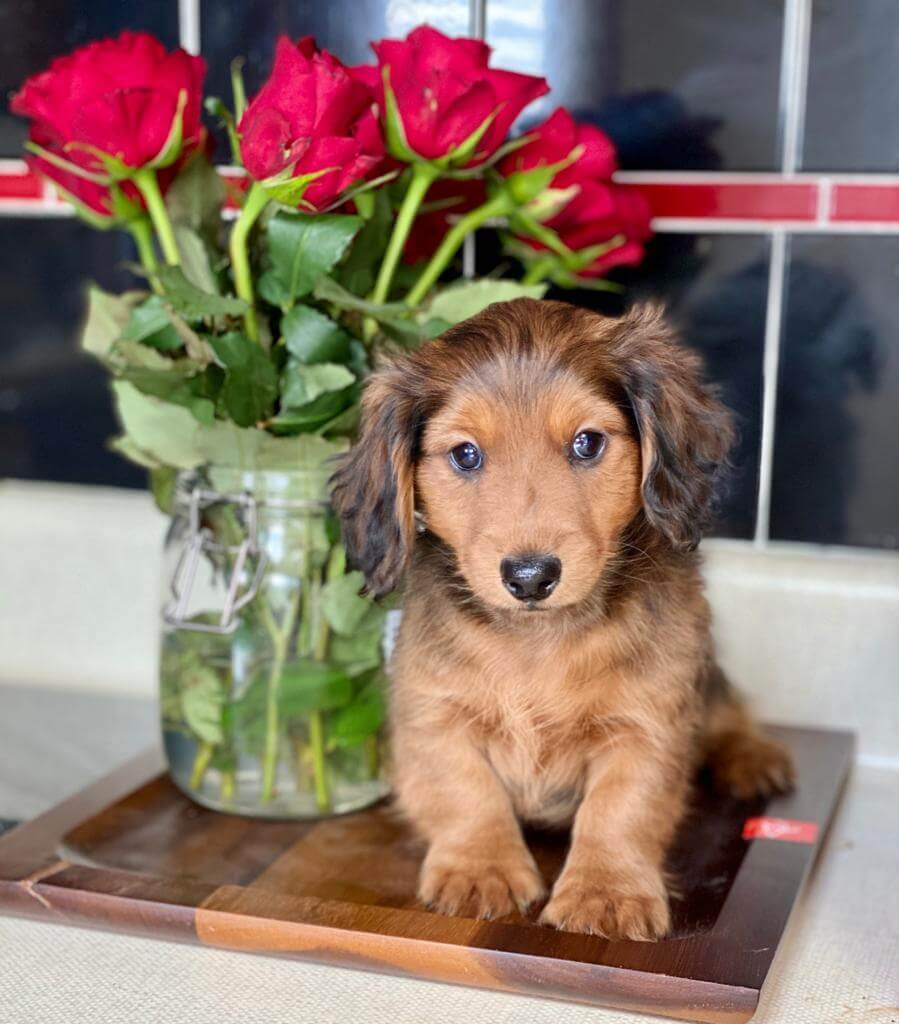 Longhaired Dachshund Puppy- NOT AVAILABLE for sale in ...
