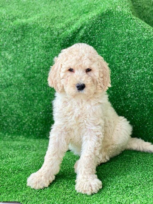 Female Goldendoodle Puppy for sale