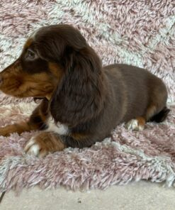 Male Long Haired Miniature Dachshund Puppy