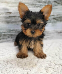 Yorkie male puppy for adoption