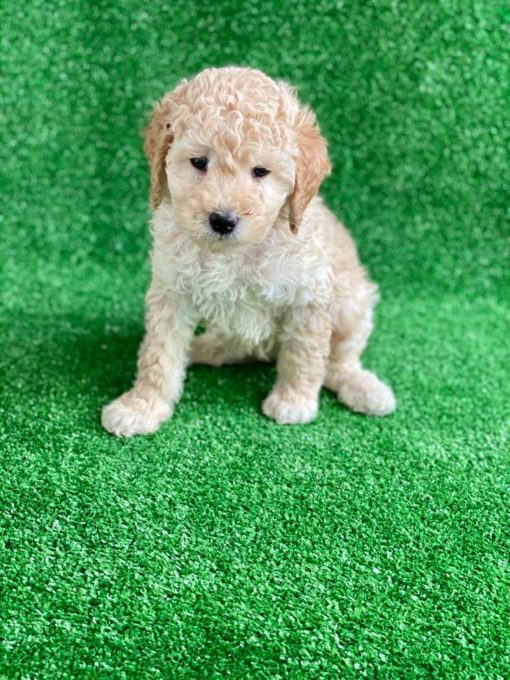 F2 Goldendoodle puppy for sale