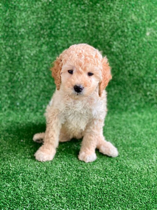 F2 Goldendoodle puppy