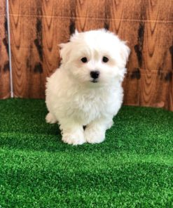 A maltipoo puppy for sle