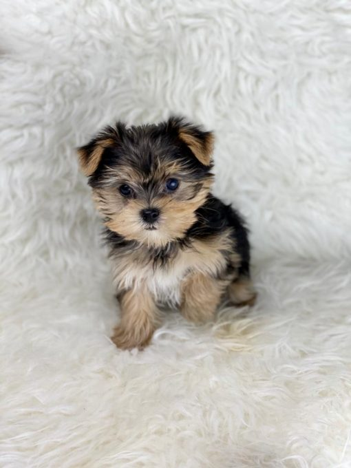Teacup Morkie Female for sale