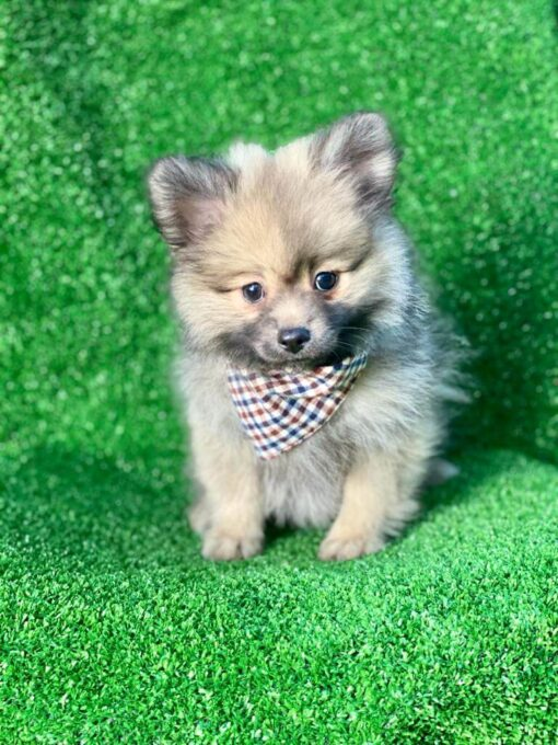 Male Toy Pomeranian Puppy for sale