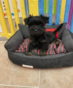 Male Toy Yorkie puppy for sale