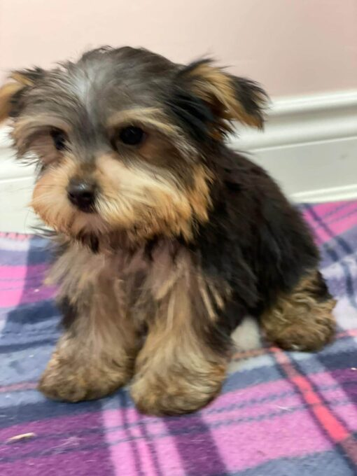 Teacup Yorkie Female Puppy for sale