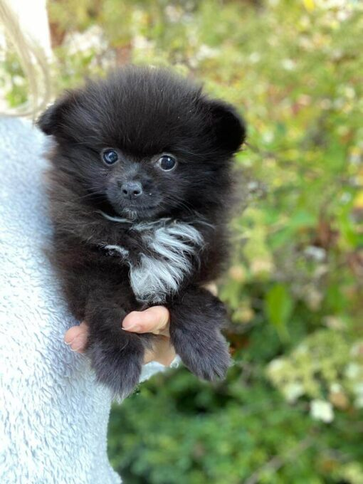 Pomeranian female puppy for sale