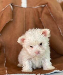 yorkie male puppy for sale
