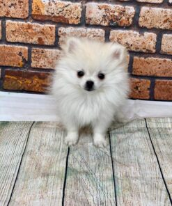 Female Pomeranian Puppy for sale