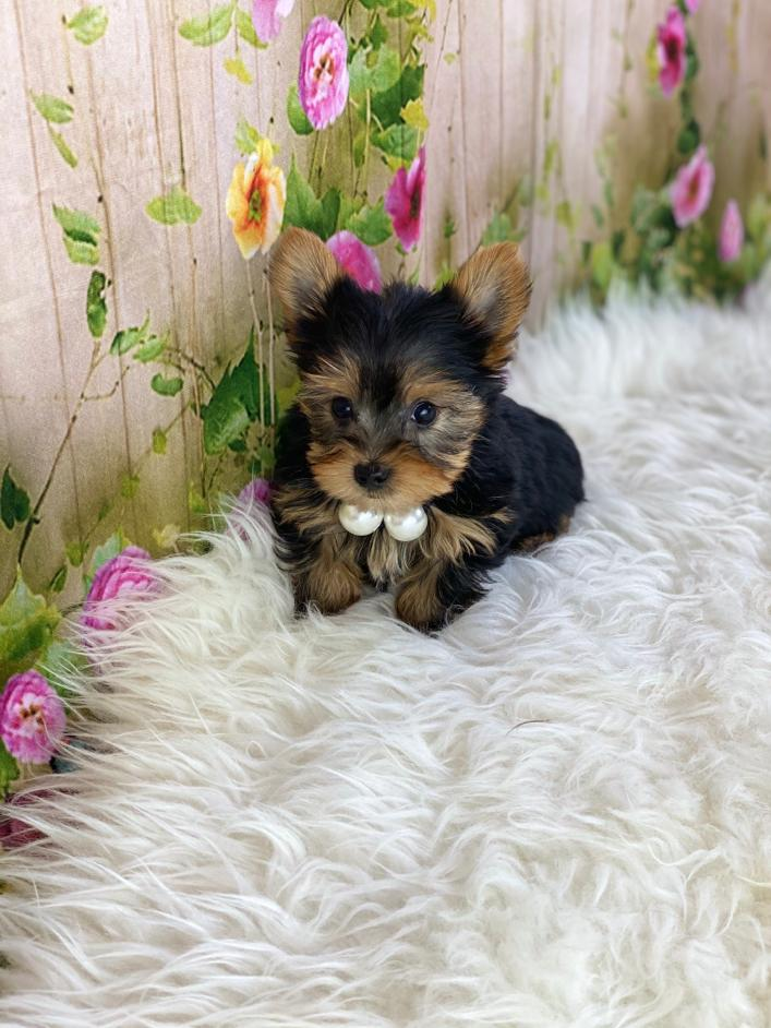 Morkie (Micro Teacup) Puppies NOT AVAILABLE for sale near Nova Scotia Canada