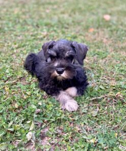 schnauzer puppy for sale