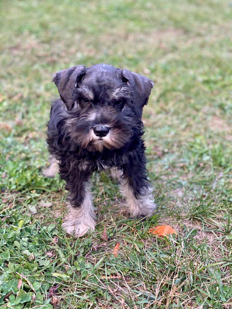 Schnauzer Puppies- NOT AVAILABLE for sale in Canada near Yukon