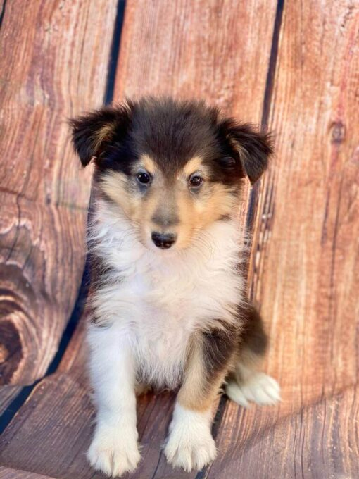 Female Sheltie Puppy for sale