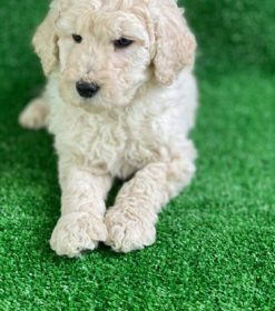Goldendoodle lying down