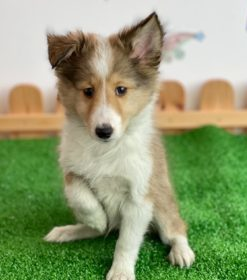 Sheltie with a raised leg