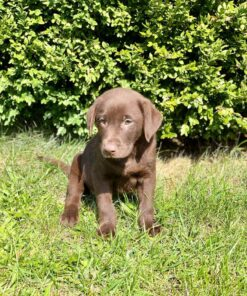 labrador puppy for adoption