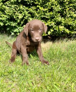 Labrador Male puppy for sale