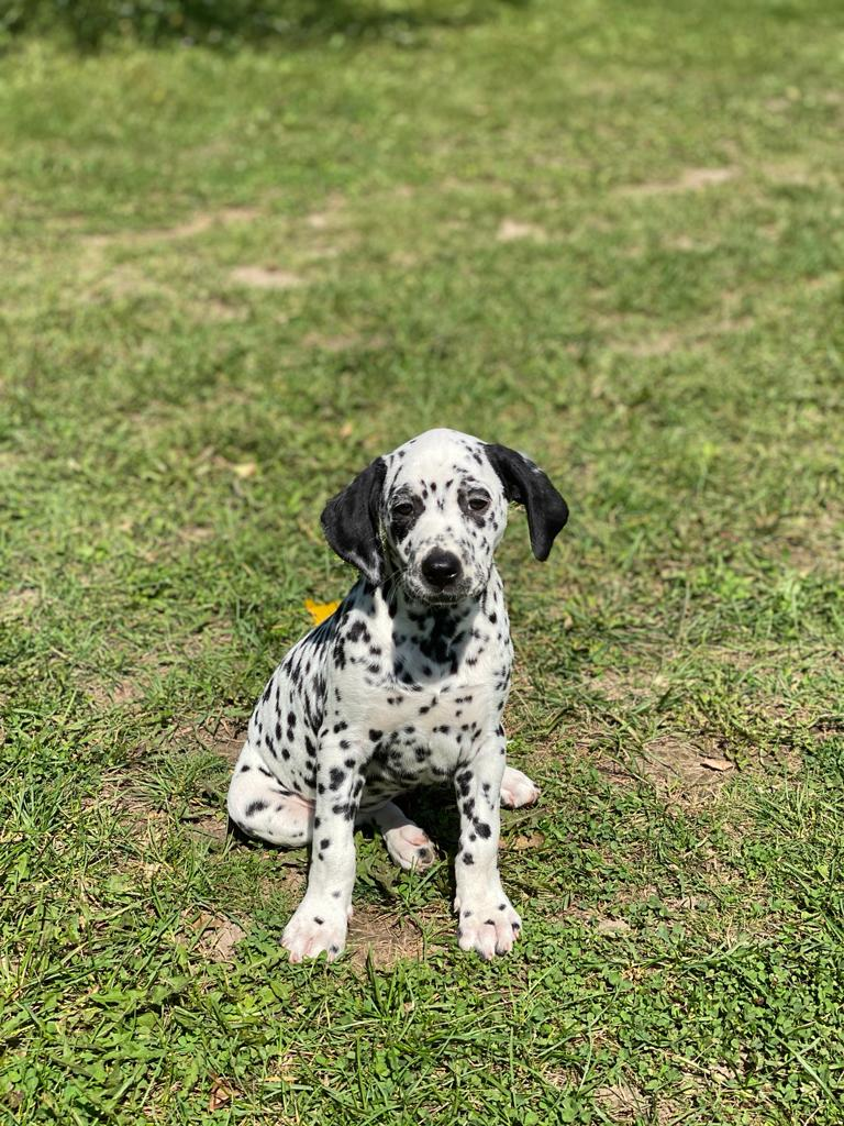 Dalmatians Puppies for sale in Canada near to you - Bright ...