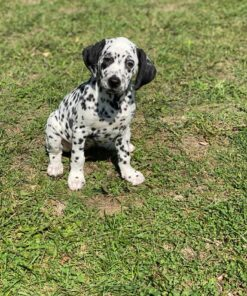 Dalmatian puppy for sale
