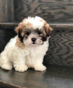 Malshi Male puppy for sale