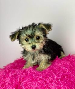 Morkie Female Puppy for adoption